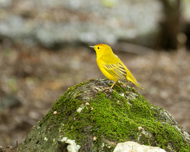 Yellow warbler at Manglecito Beach
