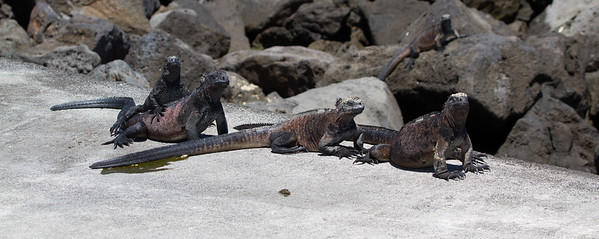 Marine iguanas at Floreana Island waterfront