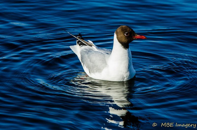 Common Blacköheaded Gull