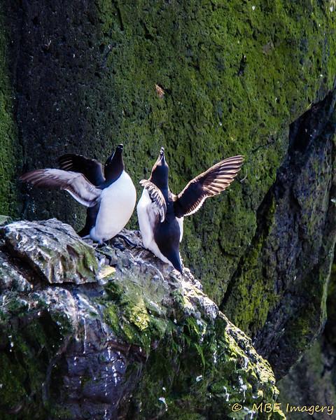 Razorbill Mating Dance