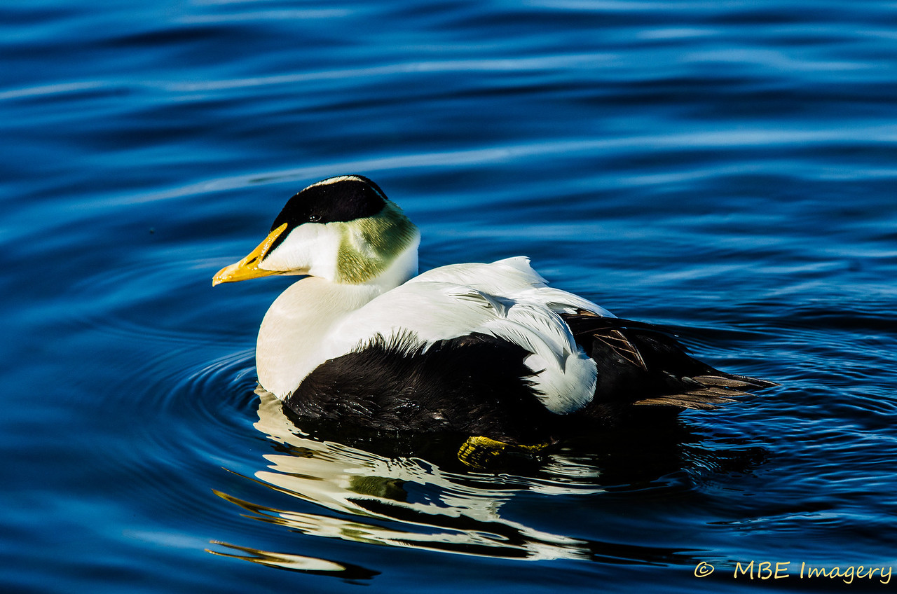 Eider Duck at City Hall, Reykjavak