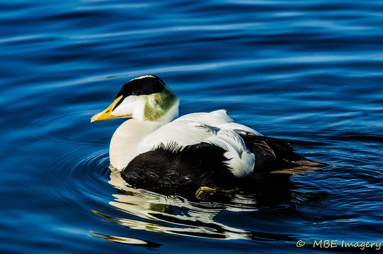 Eider Duck at City Hall, Reykjavak