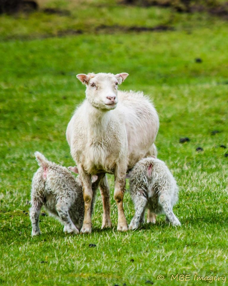 Hungry Lambs