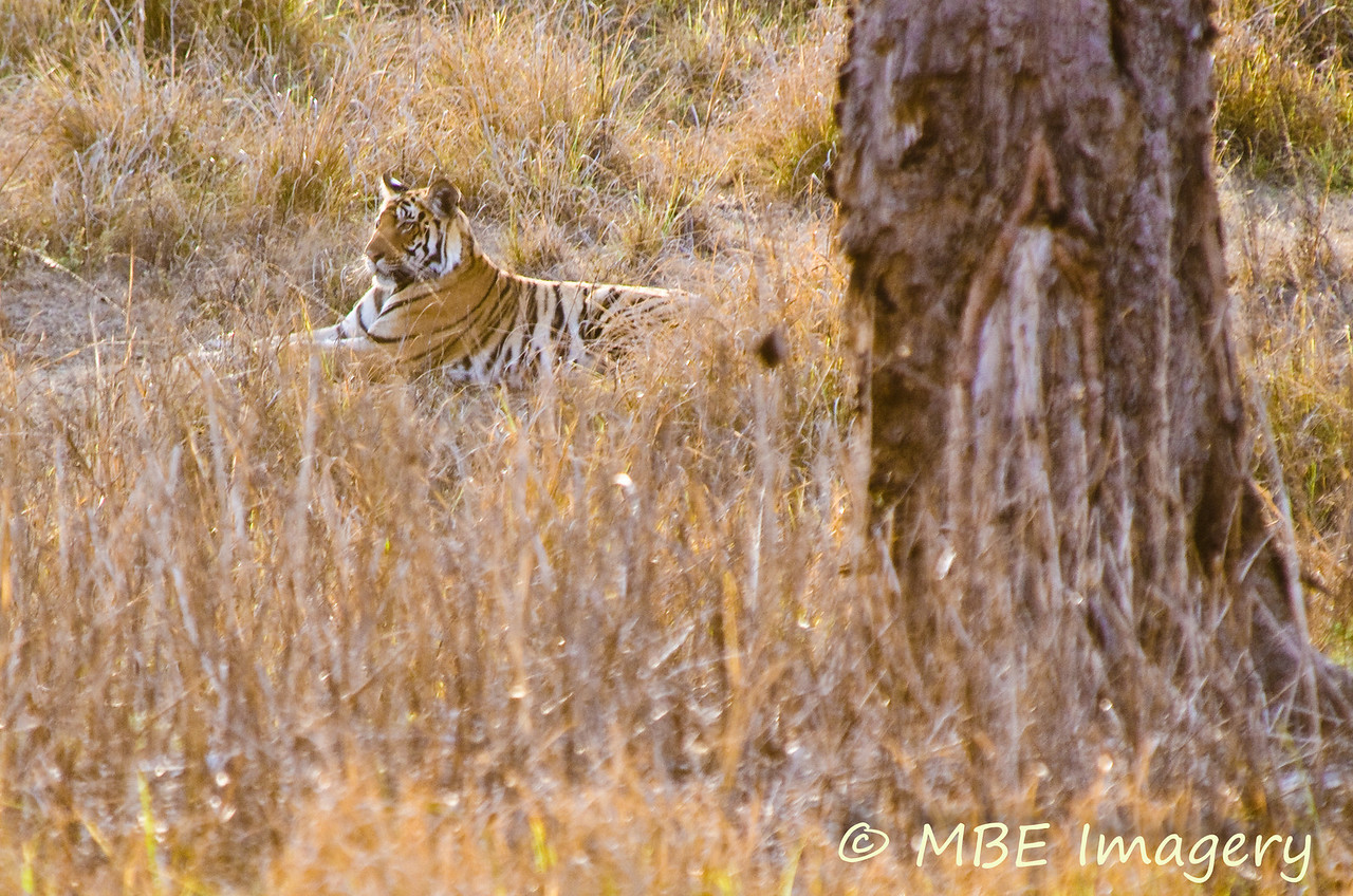 Tiger resting under a cool shade tree in the distance