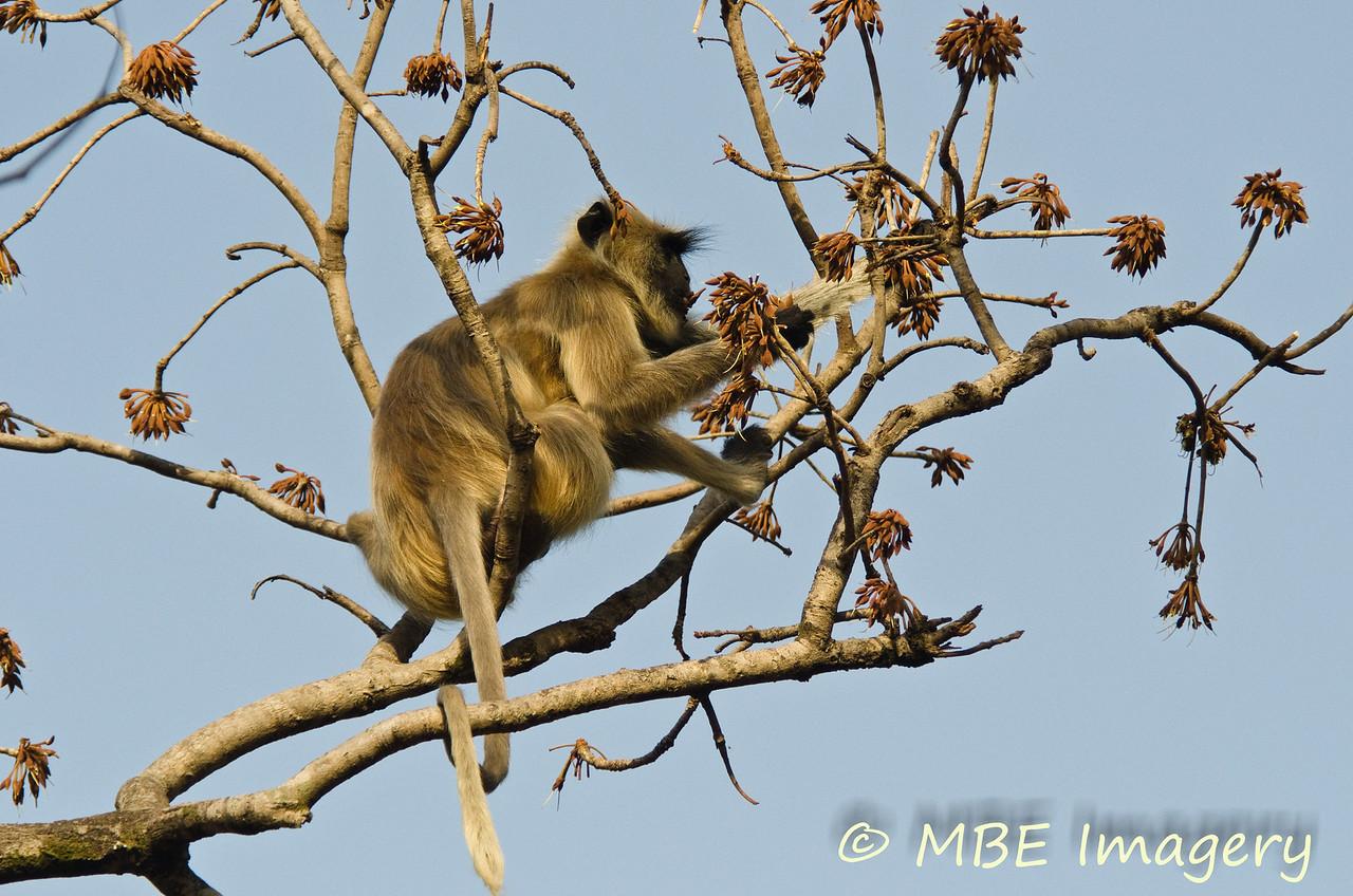 Langur monkey eating flowers