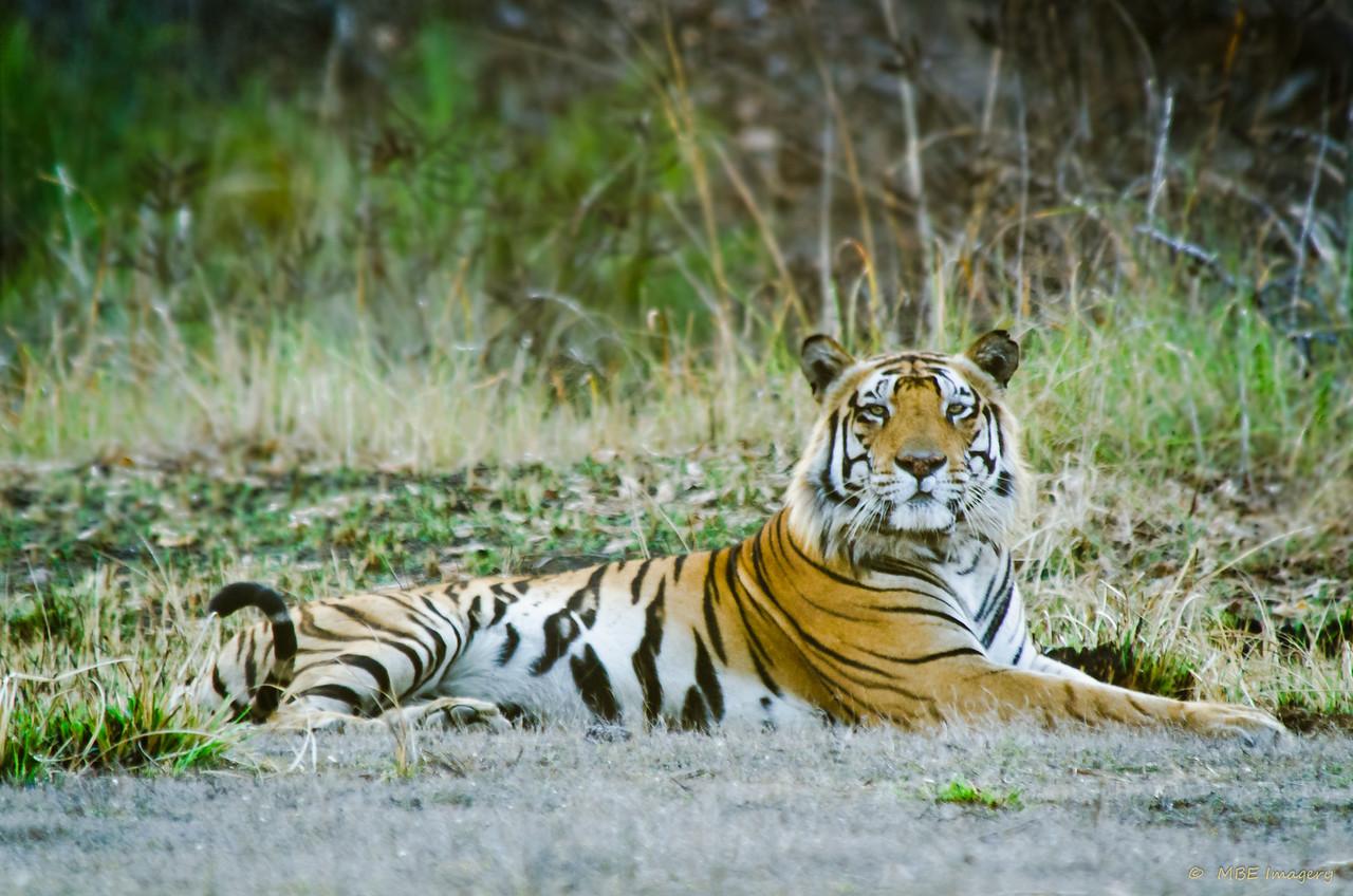 Bengal Tiger in Kanha