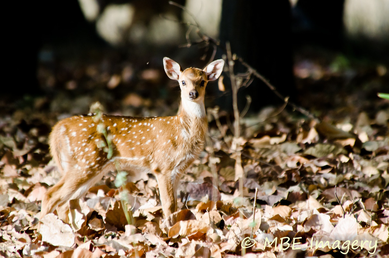 """Young fawn """"deer in the headlights"""""""