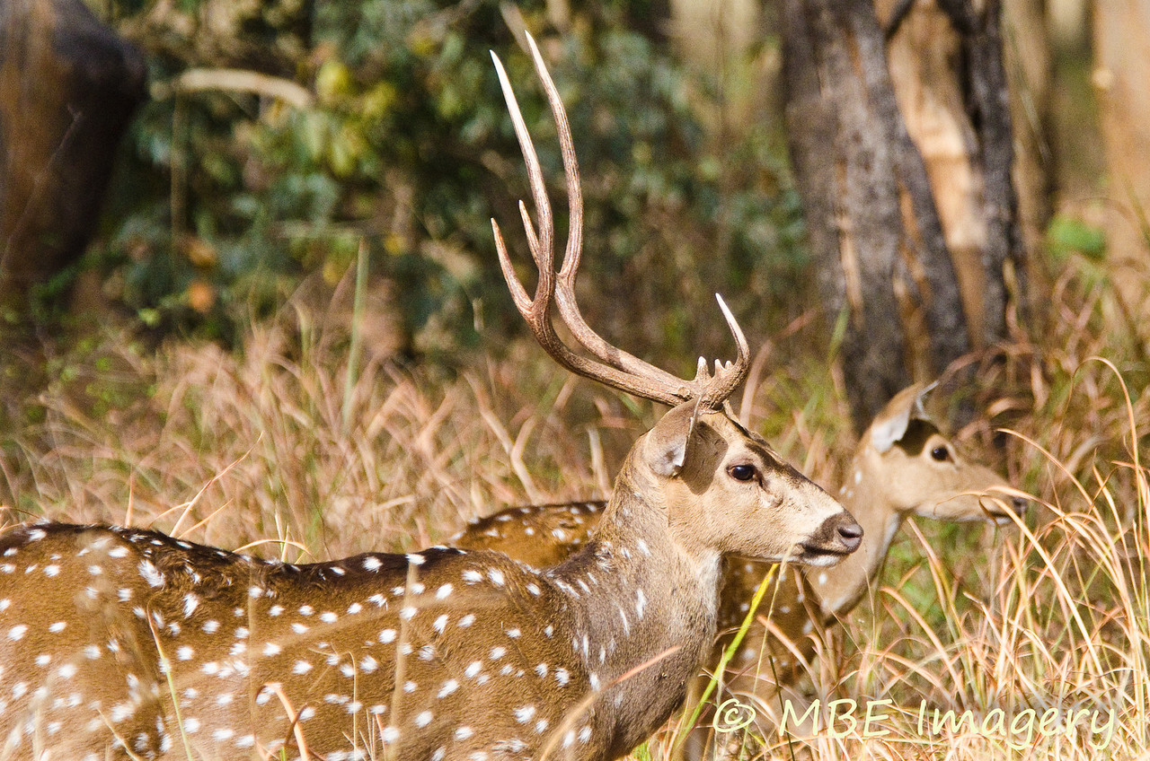 Spotted deer buck and doe