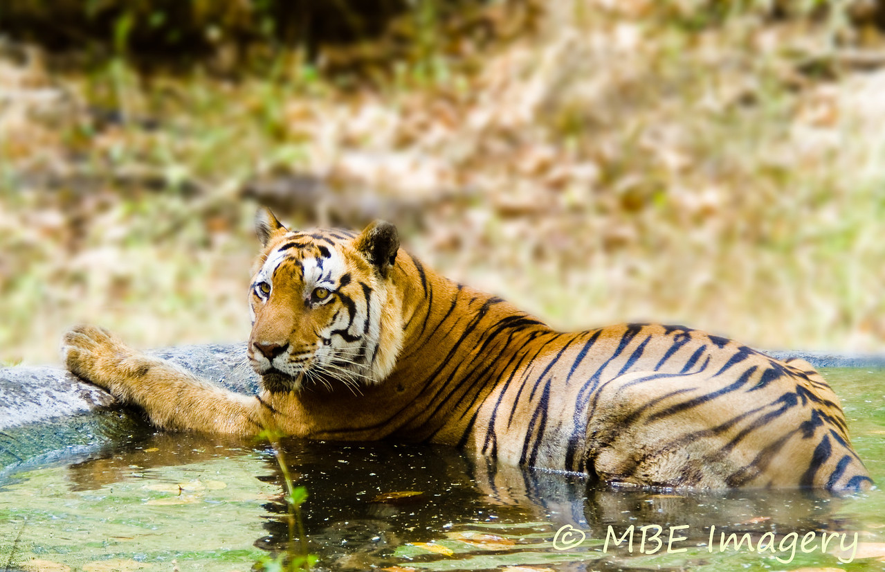 Tiger cooling off in pool of water