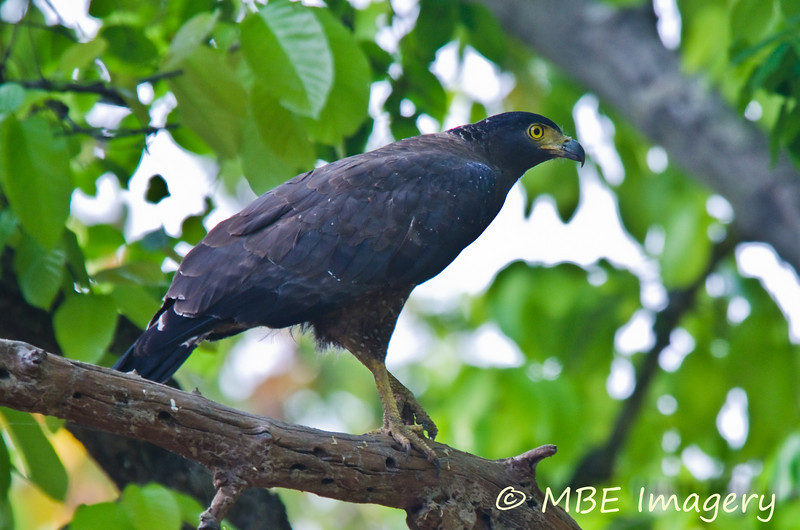 Crested serpent eagle