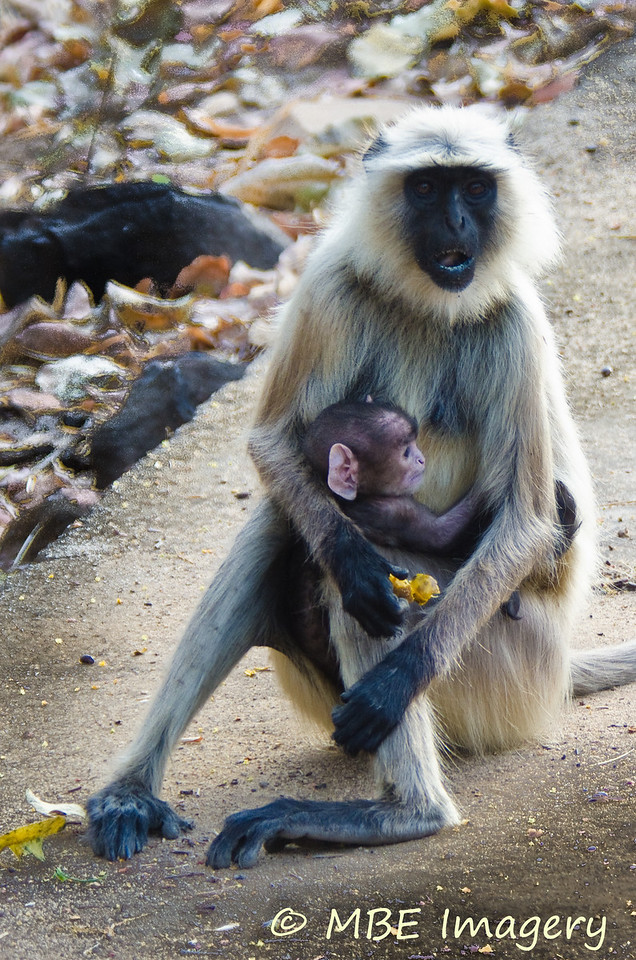 "Baby langur monkey is ""all ears"" for Mom"