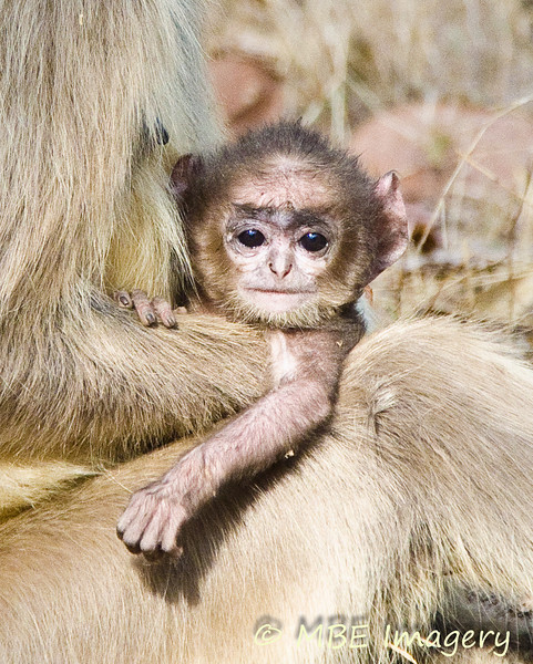 Young langur monkey with parent
