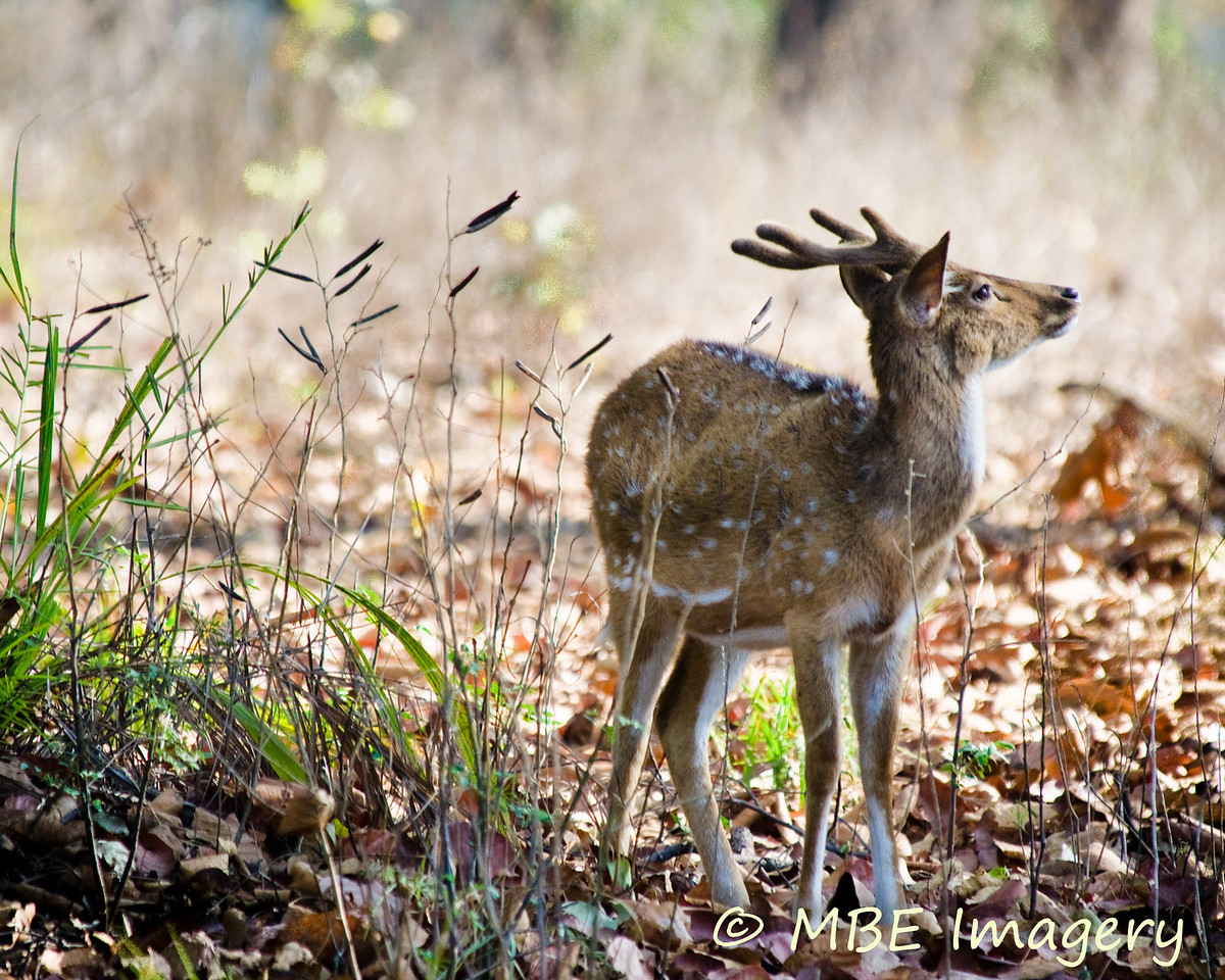 Young buck in early morning light