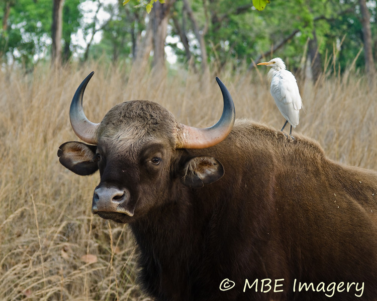 Gaur (Indian bison) with cattle egret cleaning service