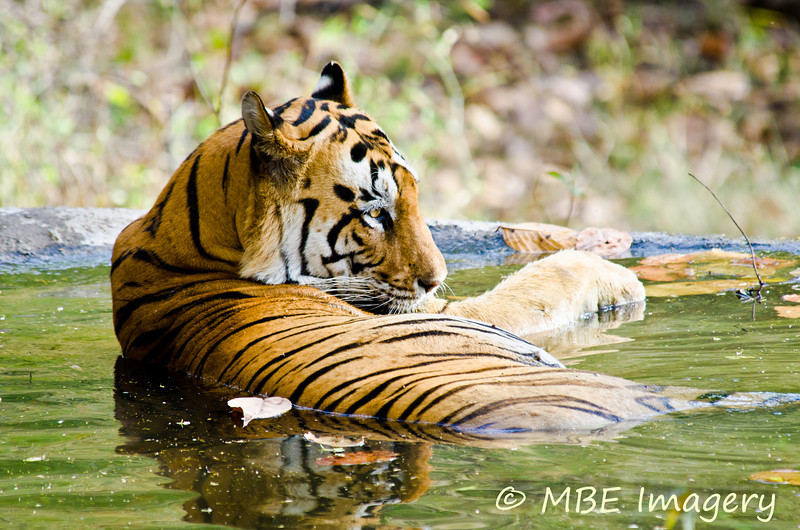 This tiger thinks he is at the spa!
