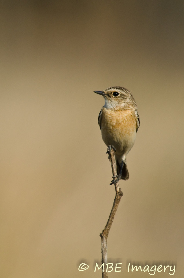 Common stonechat female
