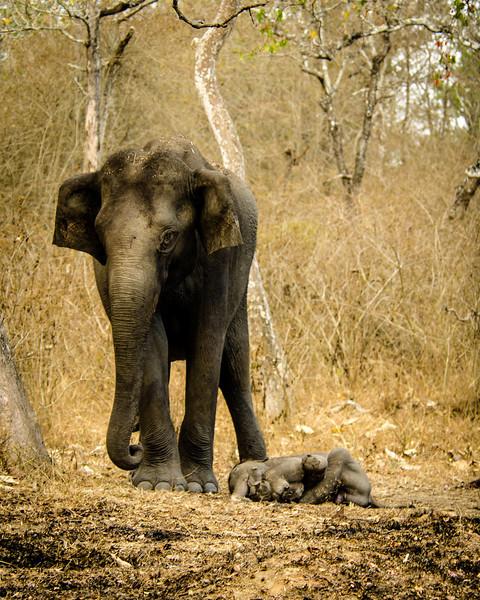 Mother mourning still born calf