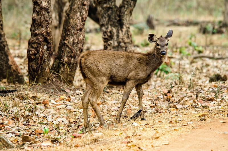 Sambar - largest of Indian deer