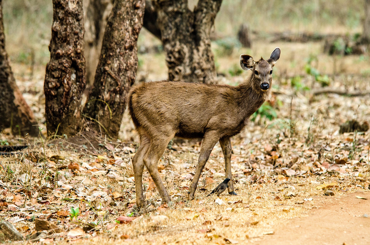 Sambar - largest of Indian deer