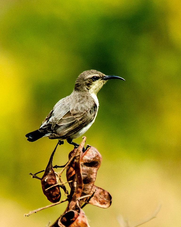 Female Purple Sunbird