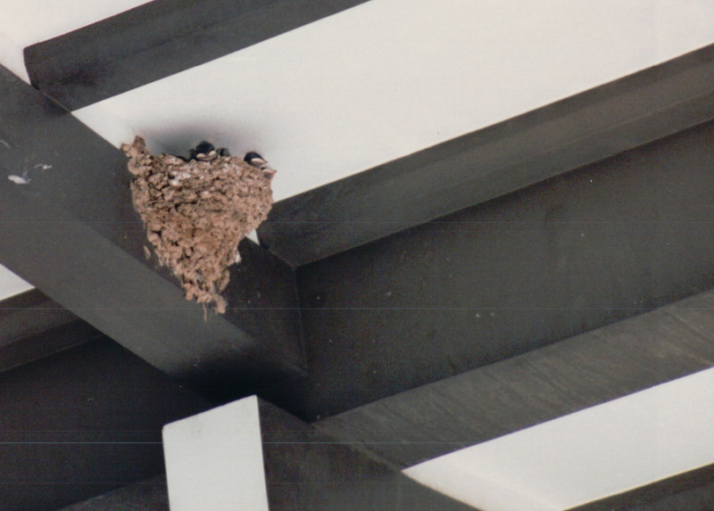Cute Baby Birds - Swallow Nest - Scenes of Narita, Japan - Layover on Return Flight from Malaysia - July 1994