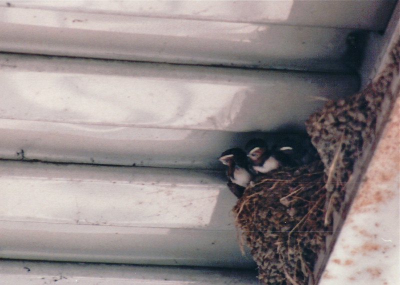 Another Swallow Nest with Older Birds - Scenes of Narita, Japan - Layover on Return Flight from Malaysia - July 1994