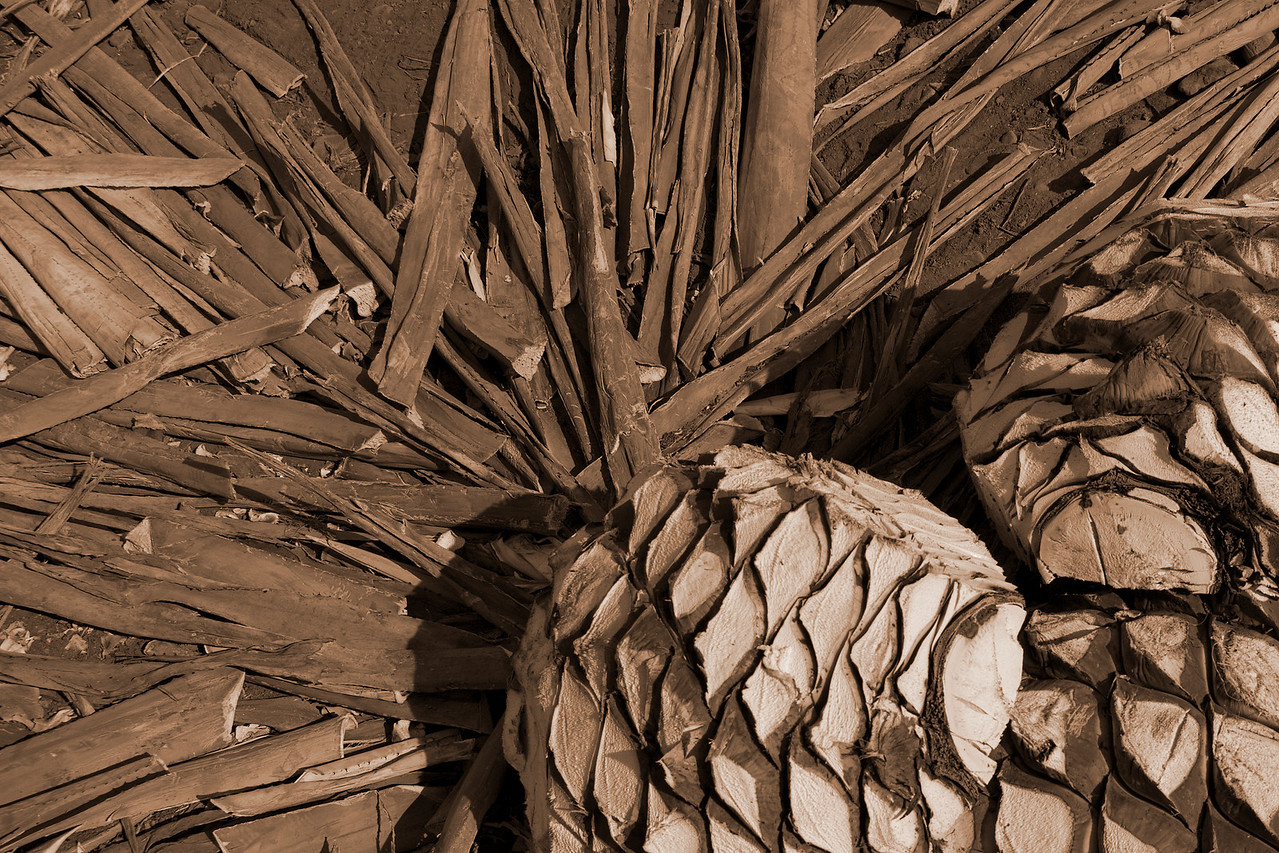 """agave \""""pineapples\"""""""