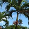 Palm Trees With Red Fruit - Ocho Rios, Jamaica