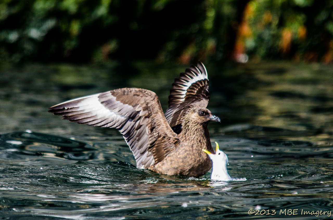 Great Skua Looking for Dinner