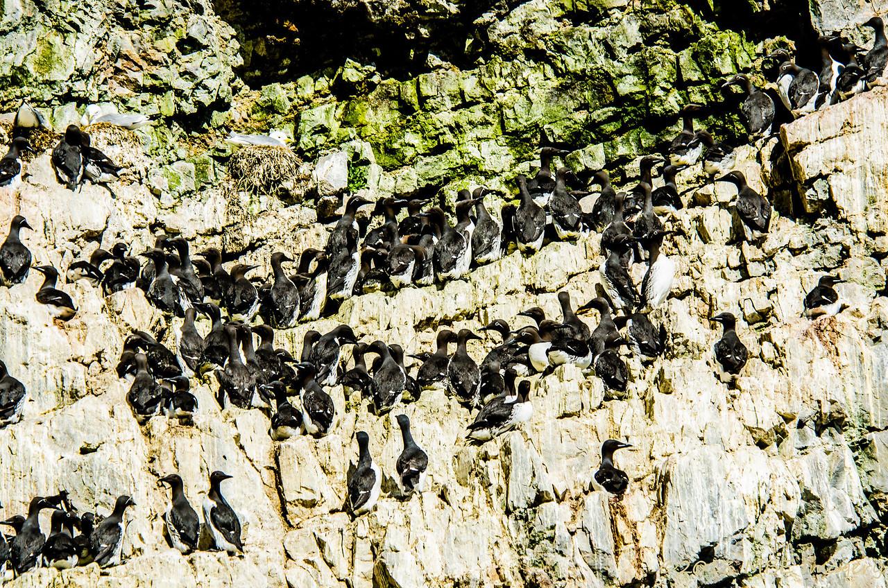 Nesting Murres/Guillemots