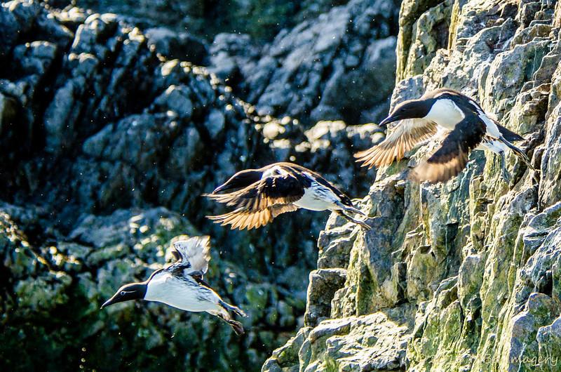 Common Murres Take Flight