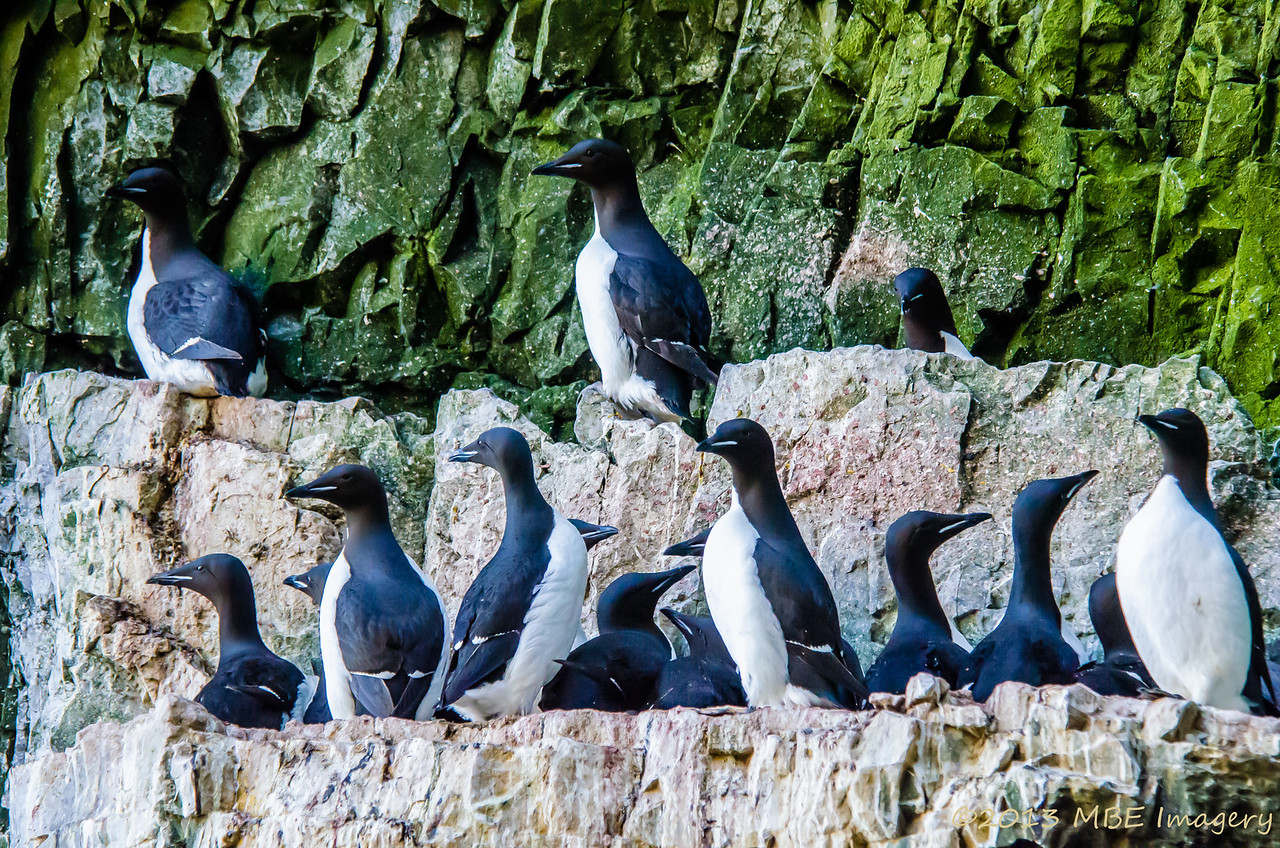 Thick-billed Murres Nesting
