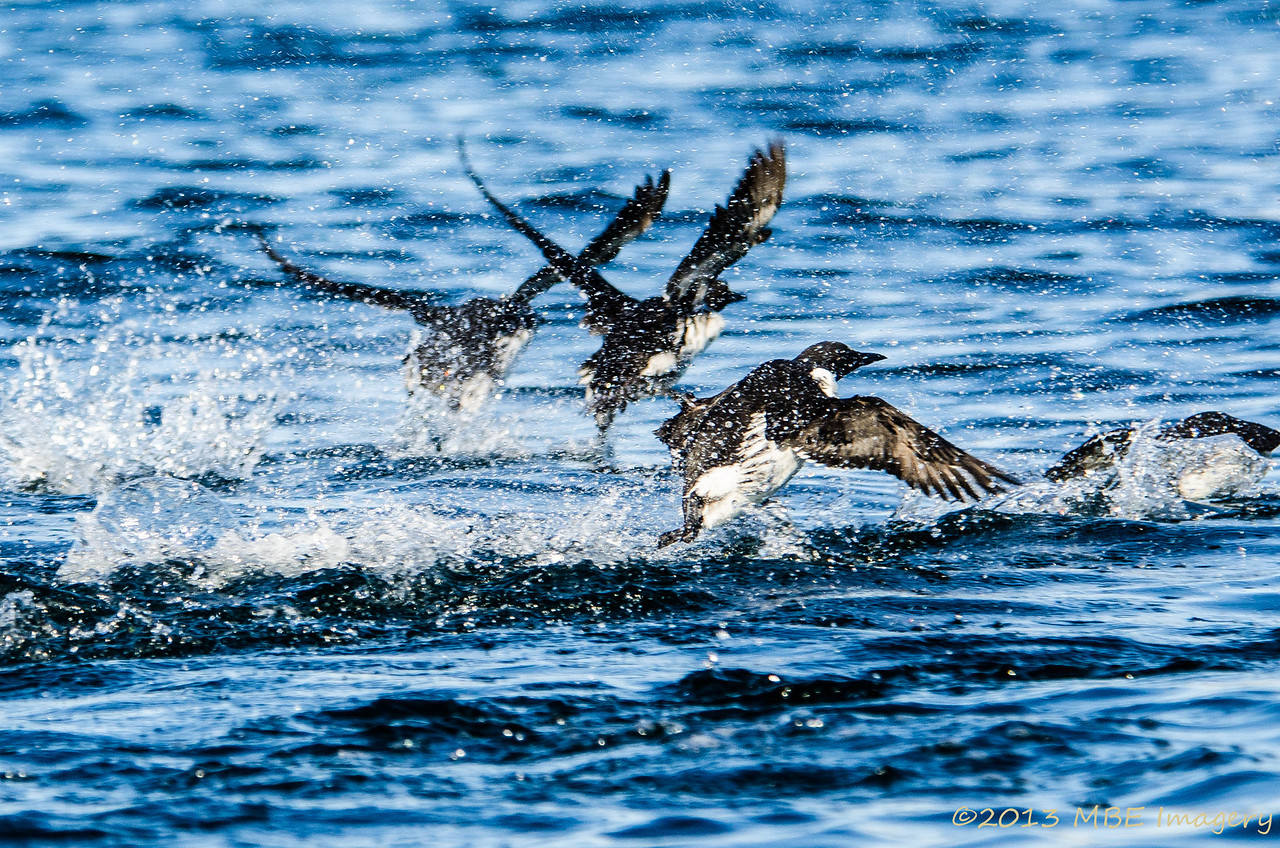 Murres Take-Off