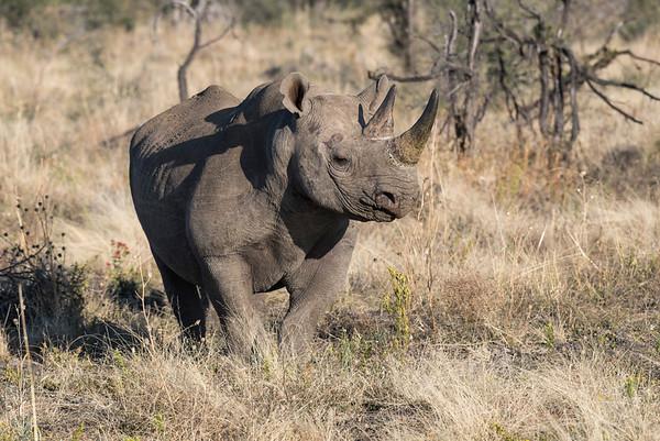 Rhinos - July 2016 SA