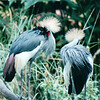 South African Crowned Cranes - Jurong Bird Park - Singapore - March 2002