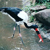 Saddlebill Stork - Jurong Bird Park - Singapore - March 2002<br /> They released fish into the running waters upstream so the birds naturally caught their own meals.