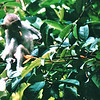 Long-tailed Macaques - Bukit Timah Nature Reserve - Singapore - March 2002<br /> Singapore is one of only two cities in the world to have a significant area of primary rainforest within its boundaries - the other being Rio de Janeiro.