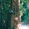Some of the Trees Were Huge - Bukit Timah Nature Reserve - Singapore - March 2002<br /> The park is filled with over 800 species of native plants including giant trees, ferns, and native wild flowers.