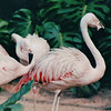 Flamingoes - Jurong Bird Park - Singapore - March 2002