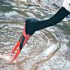 Saddlebill Stork - Jurong Bird Park - Singapore - March 2002