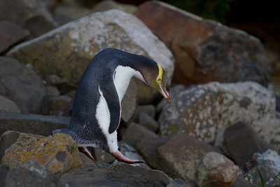 Yellow-eyed penguin at Curio Bay