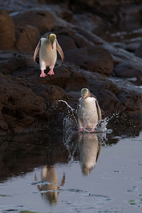 Yellow-eyed penguins at Curio Bay