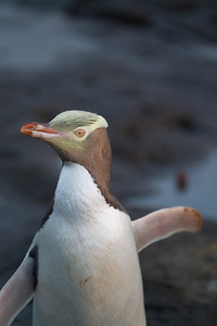 """The penguins are that-a-way!"" Yellow-eyed penguin at Curio Bay"