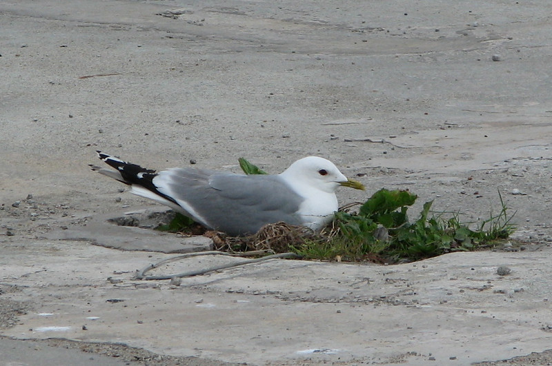 Near Port Terminal - Unknown Gull Nesting in Small Patch of Grass - Tallinn, Estonia