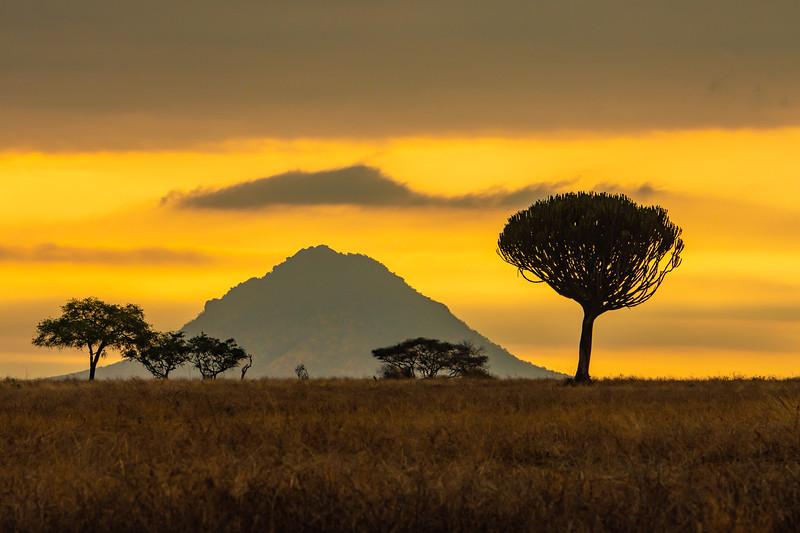 Candelabra Tree in Sunset