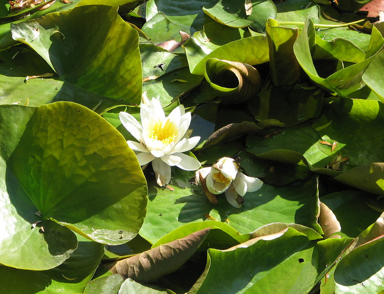 Water Lily - Almedalen Park - Visby, Sweden