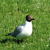Black-headed Gull - Almedalen Park - Visby, Sweden