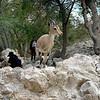 Nubian Ibex Approaching