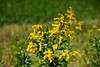 Roadside Goldenrod in Madison County