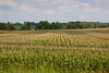 Corn, corn, corn, and soybeans (the dark green crop in the background).